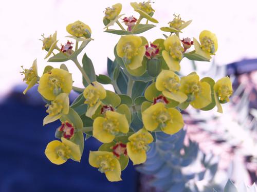 Euphorbia rigida 1g