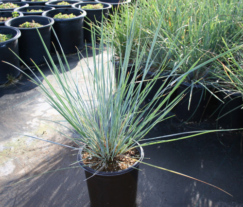 Festuca californica 1g