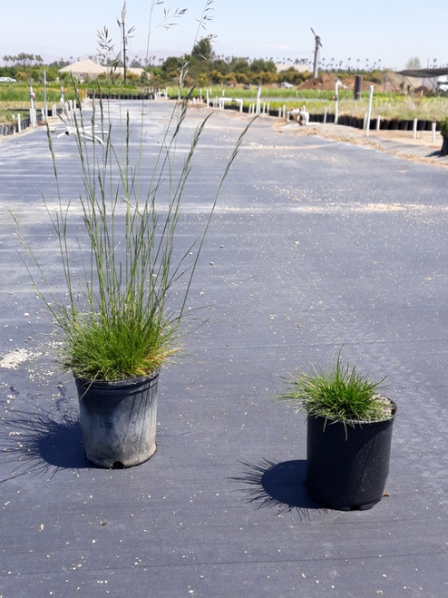 Festuca rubra 'Molate' 1g