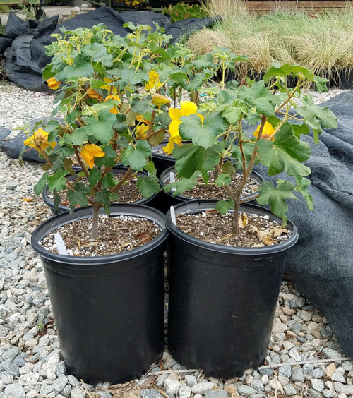 Fremontodendron 'Pacific Sunset' 5g