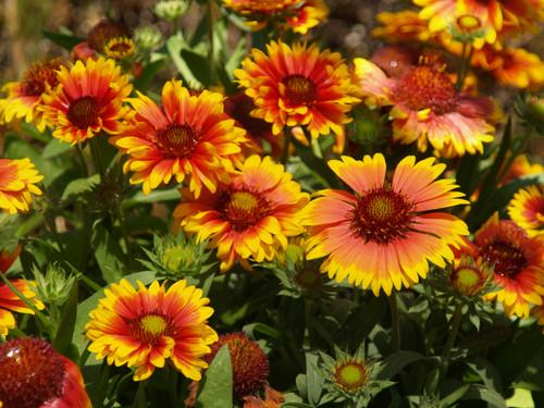 "Gaillardia grandiflora 'Arizona Sun' 4"""