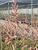 Aloe fosteri 3g
