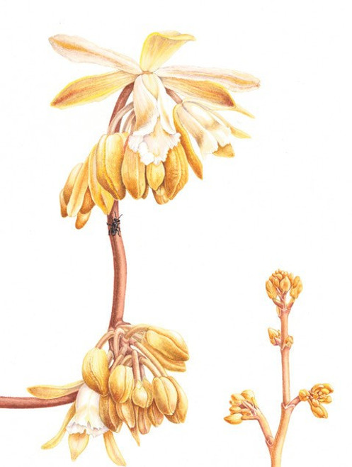 Card: Stingless Bee and Erythrorchis cassythoides, Climbing Orchid
