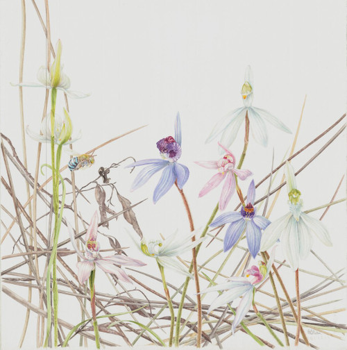 Limited edition print: Blue-banded Bee and Caledenia Orchids, Spider Orchids in Leaf Litter