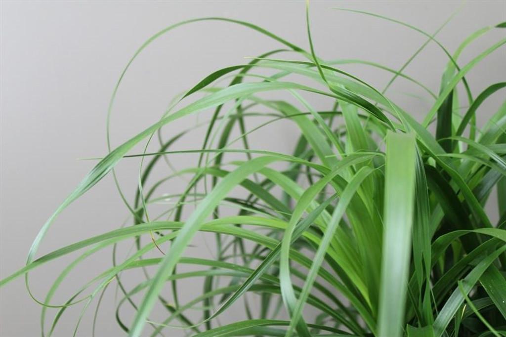 Giant Ponytail Palm