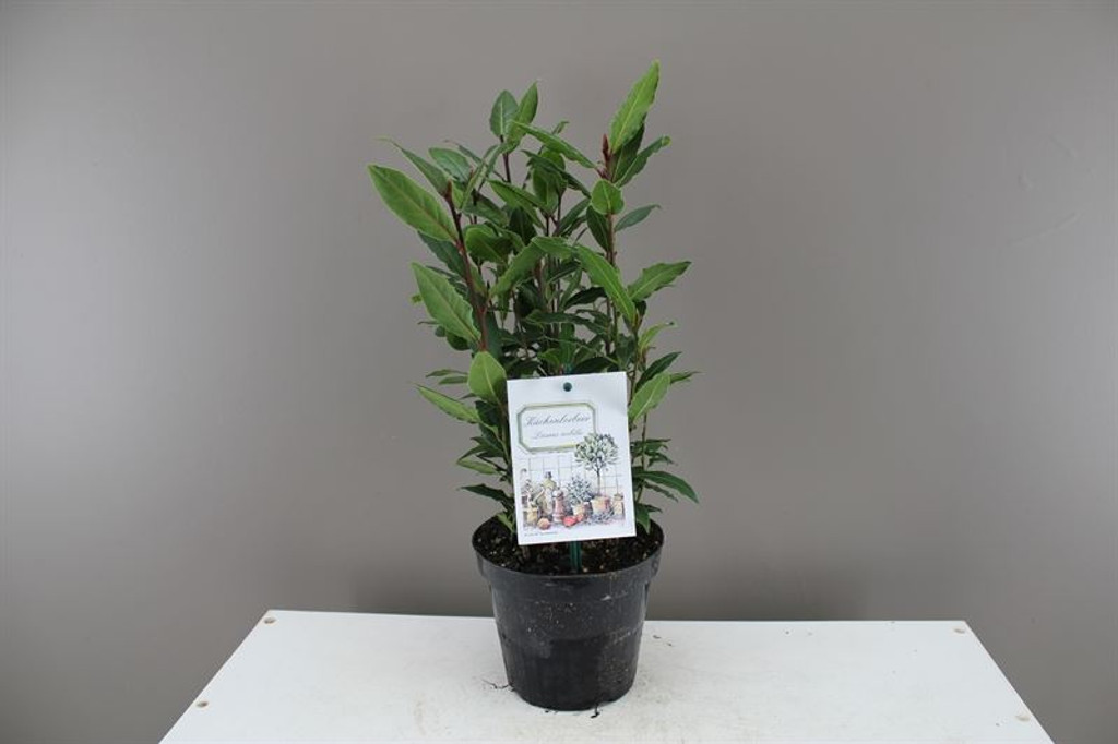 Small Kitchen Bay Tree