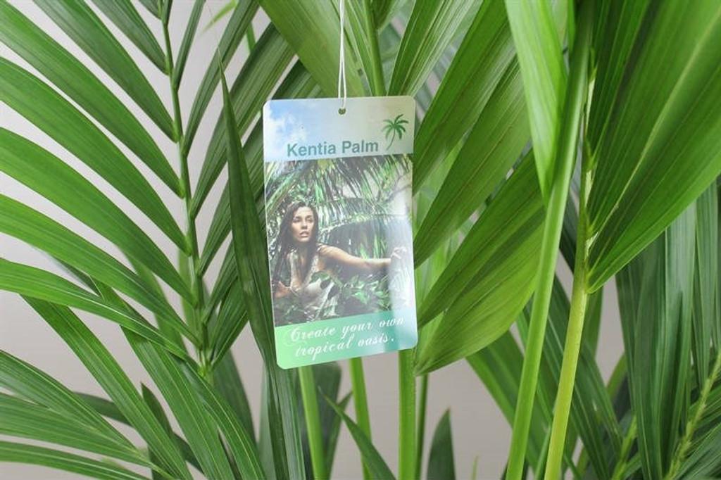 Exotic Kentia Palm Leaves