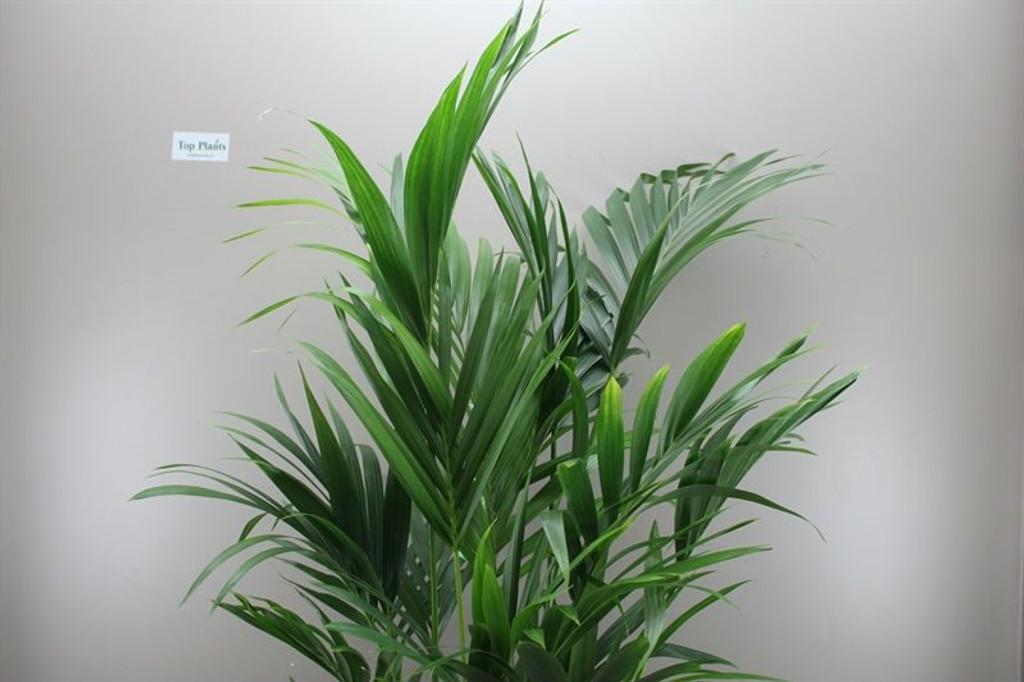 Large Howea Forsteriana