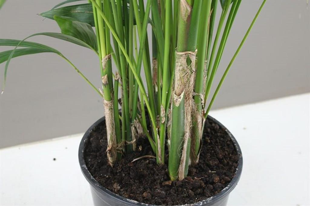 Kentia Palm tree stem