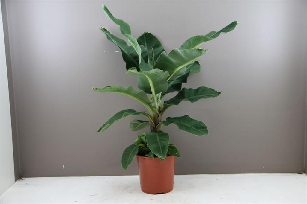Banana Tree - Musa Dwarf Cavendish-