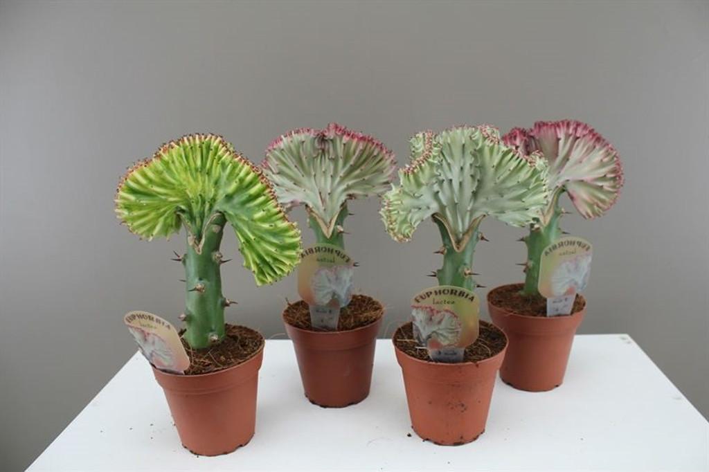 Cactus gift