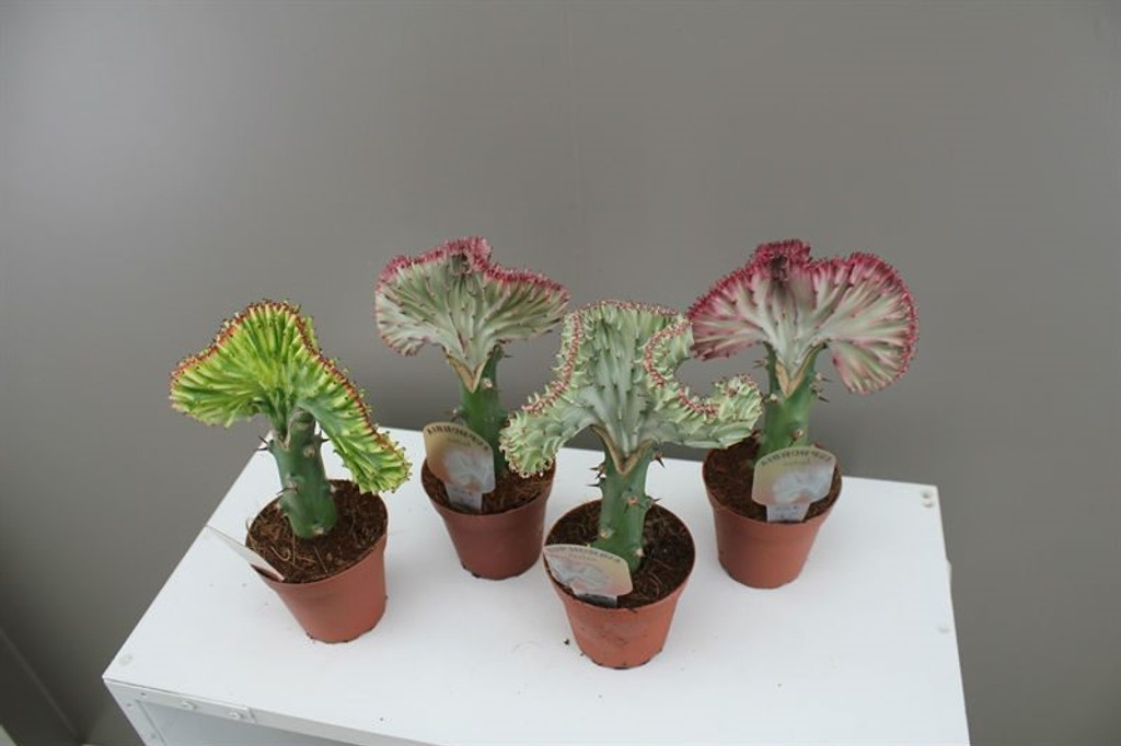 Gift Cactus