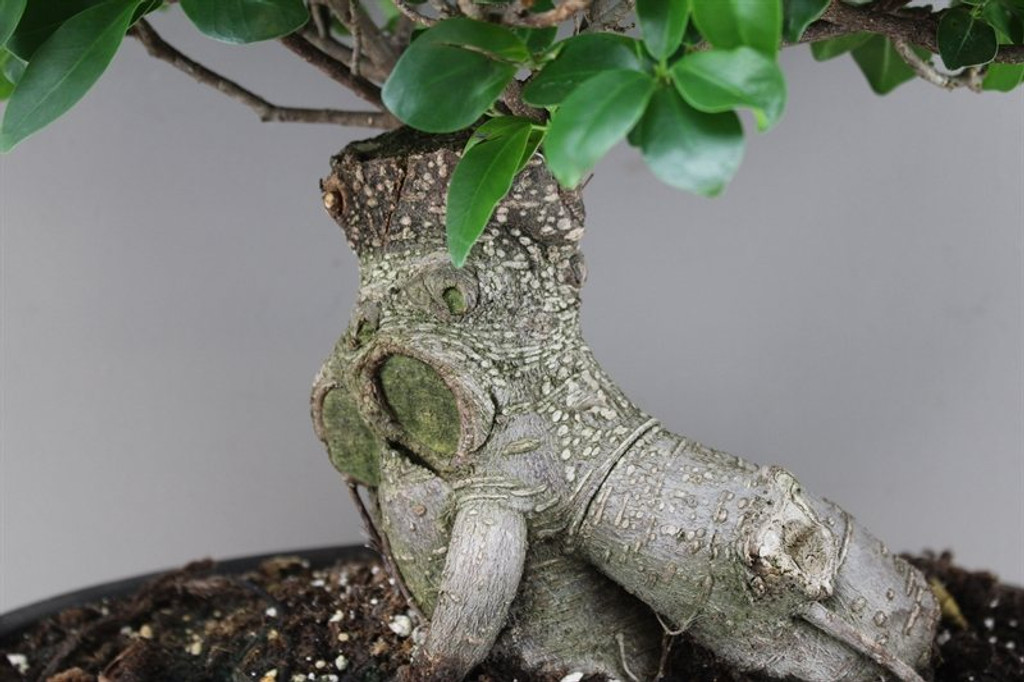 Fig Bonsai Tree