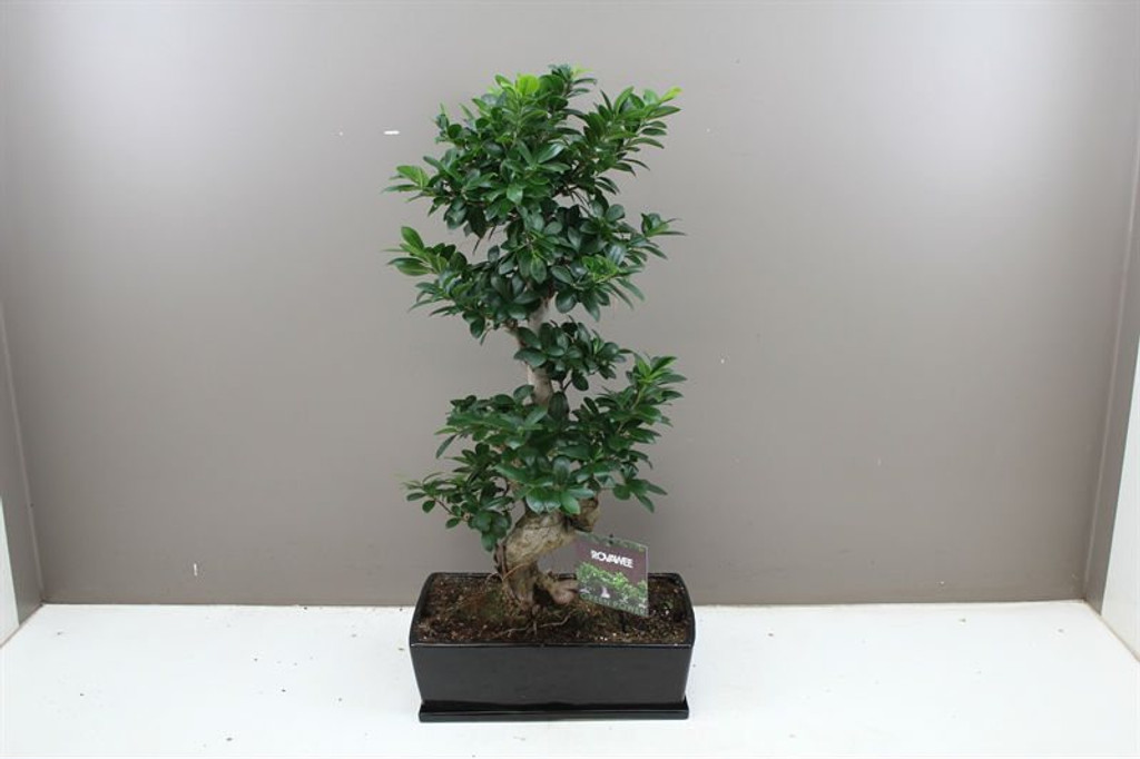 S type Ficus Bonsai Tree