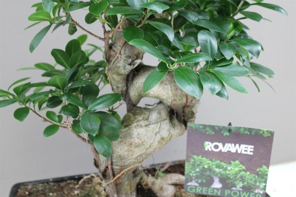 Ficus Ginseng Spiral stem
