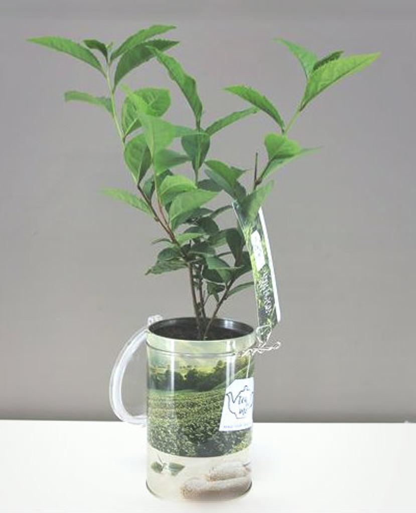 Tea plant in Gift Tin of tea leaves .