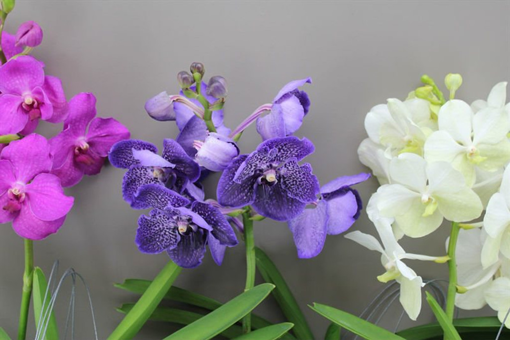 Vanda Orchid in Pink, Blue - purple ,White or Orange