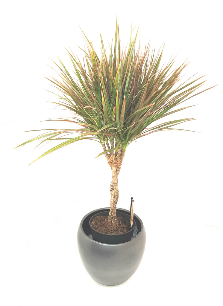 Fantastic elegant plant with colour all year around and elegant  braided  stem. Easy care and at exclusive deal from Best4garden only.