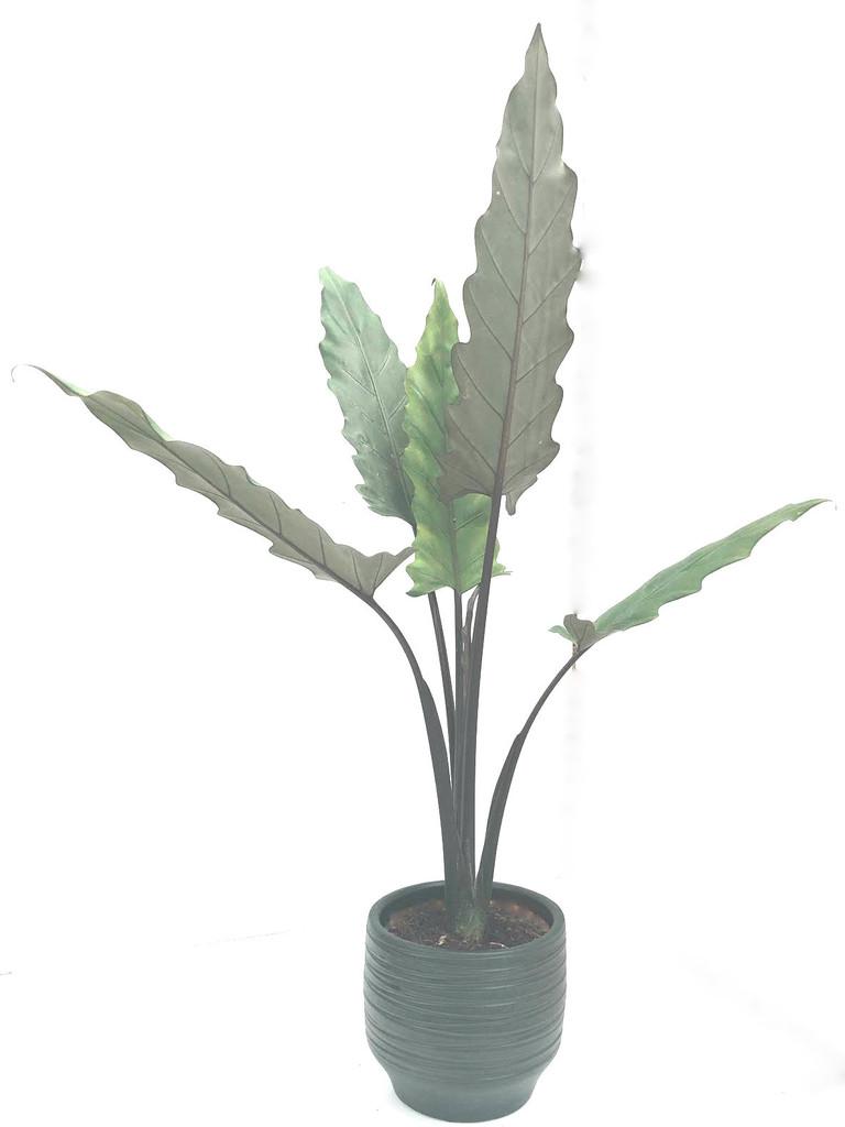 90cm with a free ceramic pot Alocasia Lauterbachiana and Free Shipping .