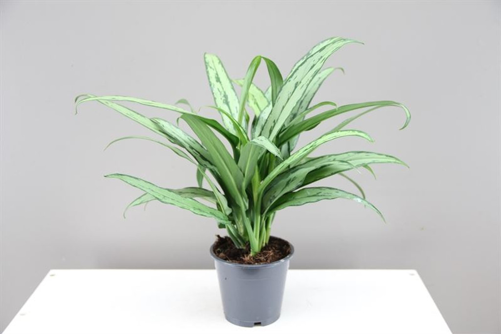 Chinese Evergreen - Aglaonema Cutlass