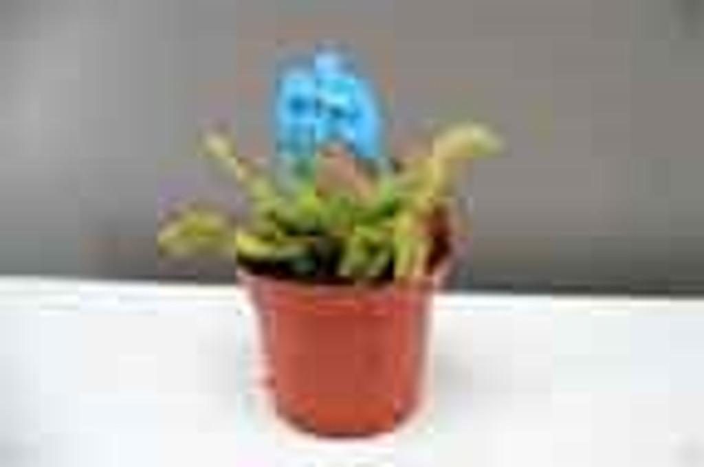 Venus Flytrap pet plant
