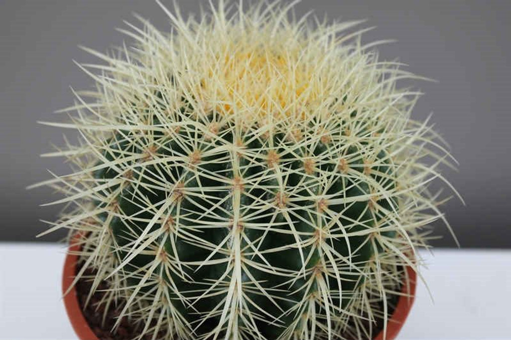 Golden ball cactus