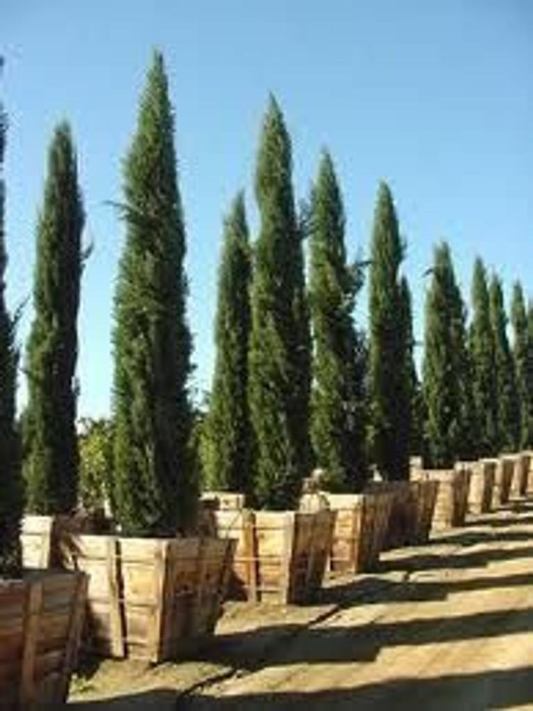 Large Cyprus Italian Tree
