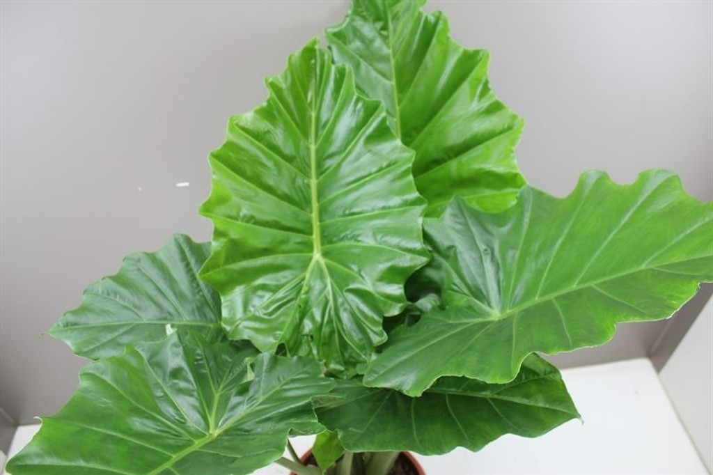 Glossy green elephant ears