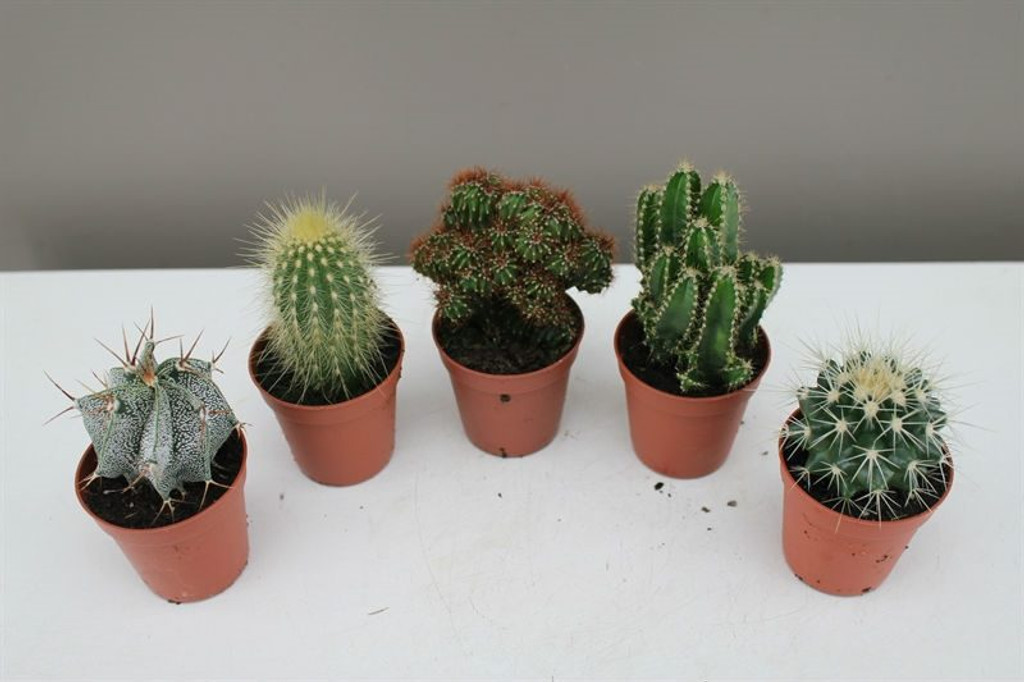 mini cactus set