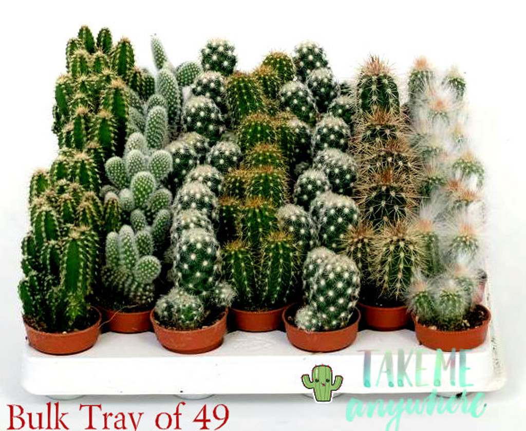 Tray of small cactus . 49 ( 7x7) plants
