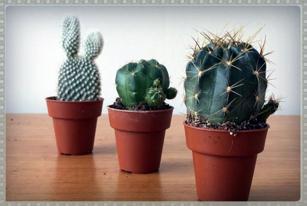 Set of 3 small cactus