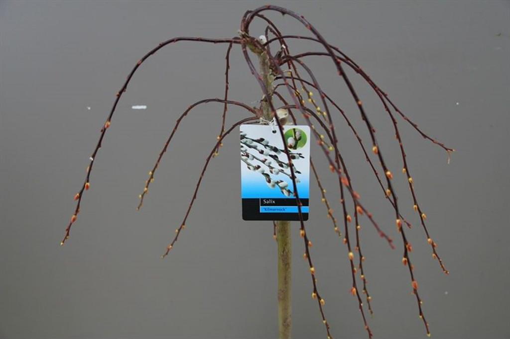 Salix Caprea Weeping Willow
