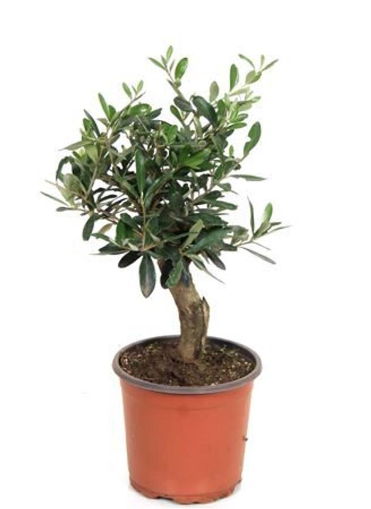 Small Olive Bonsai