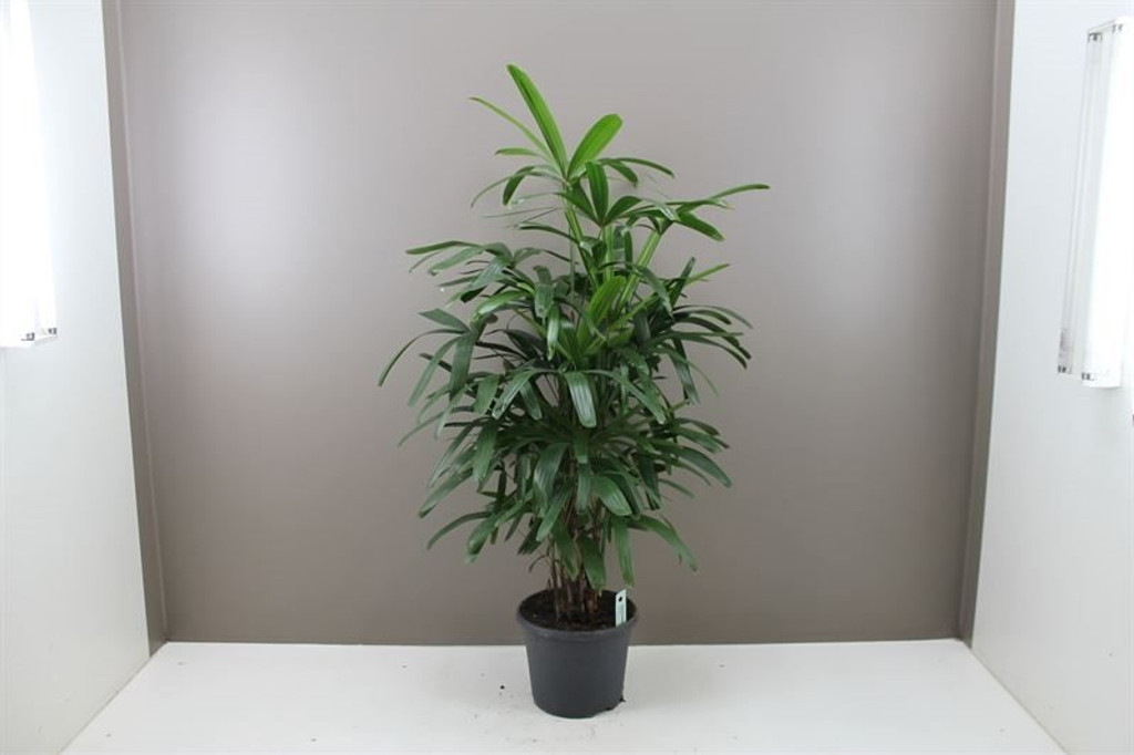 Indoor Lady Palm Rhapis Excelsa