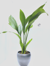 Extra Large  Common Aspidistra - Classic easy growing Houseplant With a Graphite ceramic  pot