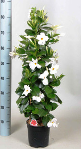 White Mandevilla flowering pyramid