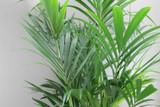 Exotic kentia palm tree