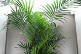 2.4m Kentia Palm Tree