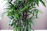 Giant Lady Palm - Ideal Christmas Gift