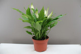 Small Spathiphyllum Chopin