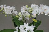 Orchid Gift plant