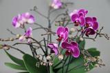 100 flower purple orchid