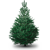 Real Christmas tree Cut 5ft Nordmann Fir Top Quality Delivered
