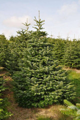 Christmas tree Cut 12ft Nordmann Fir, Top Quality, Locall delivery / collection Only