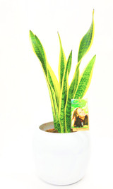 Mother's in law plant, sansevieria Planted in a white ceramic pot. Order online to any address fast delivery options.