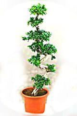 Ficus Microcarpa S Type  Mature rare plant p50cm x h180cm