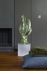 Euphorbia Ingens Marmorata p31cm x h100cm Large cactus potted in a terracotta pot.