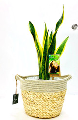Other options : Large  Mother's in law plant, sansevieria Planted in a white white basket with  waterproof liner sawed. Order online to any address fast delivery options.