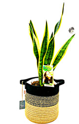 Large Mother's in law plant, sansevieria Planted in a white white basket with  waterproof liner sawed. Order online to any address fast delivery options.