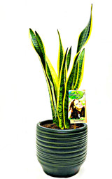 Other Options: Large  Mother's in law plant, sansevieria  houseplant ina handmade  ceramic pot.